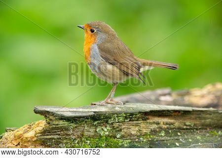 A Robin Perched On A Dead Tree Branch