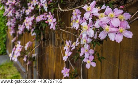 Clematis Montana Flowers ( Clematis Elizabeth) Close Up. Also Known As Mountain Clematis, Himalayan