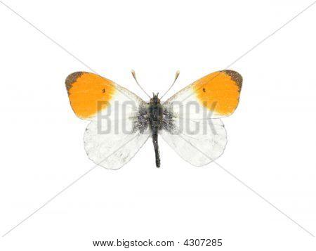Orange Tip (anthocharis Cardamines)