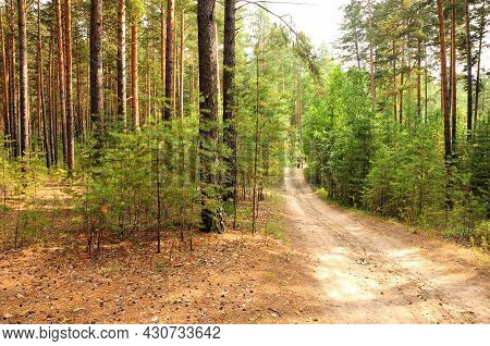 A Forest Road Going Through A Dense Coniferous Forest In An Early Summer Morning.