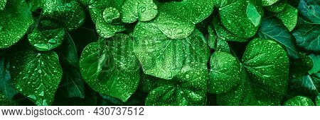 Texture Of Many Fresh Beautiful Leaves With Raindrops. Natural Background. Banner.