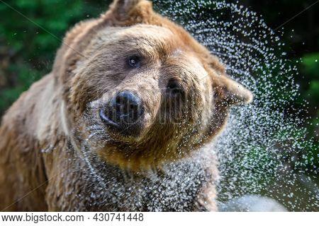 Wild Brown Bear On Pond In The Summer Forest. Animal In Natural Habitat. Wildlife Scene