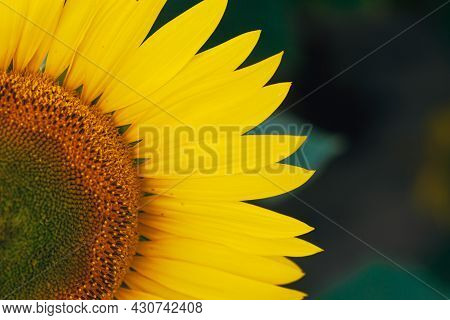 Sunflower On Summer Background.selective Focus.sunflowers Field Background.close Up Of Sunflower Tex
