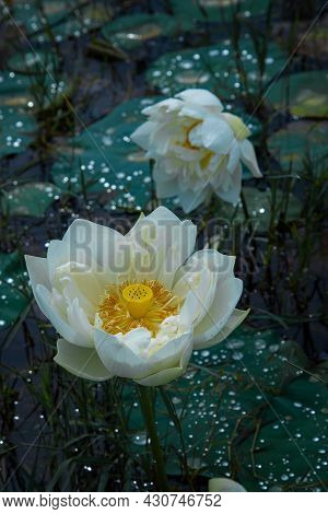 The Photography Of A Beautiful White Lotus, The White Lotus Flower, Nature Photography With White Lo