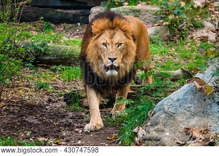 African Lion Panthera Leo in jungle forest