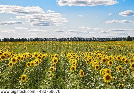Vast Field With Yellow Sunflowers Located Against Blue Sky With White Flowers On Sunny Day In Countr