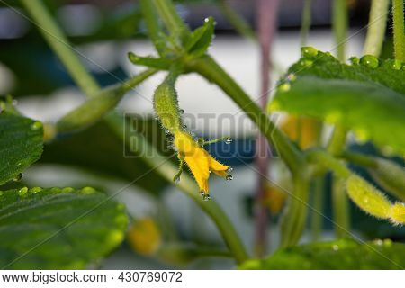 Close Up Of Delicate Yellow Cucumber Ovary Flower With Dew Drops