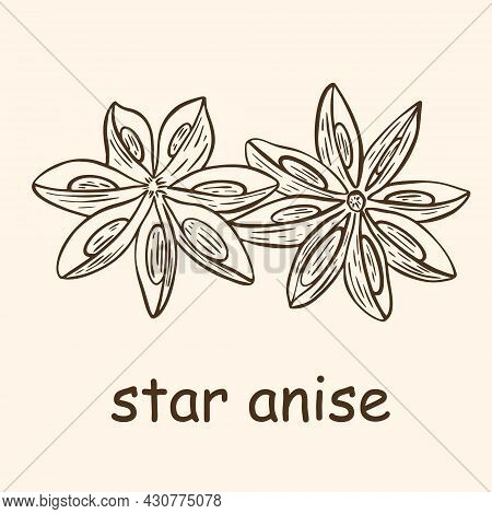Vintage Hand Engraved Star Anise Seasoning. Vector Illustration Of Inflorescence Of Aromatic Flavori