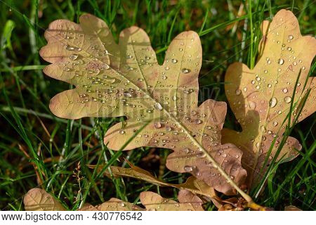 Fallen Oak Leaves With Raindrops On Green Grass