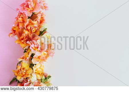 Pink And Yellow Flowers Of Snapdragon Or Antirrhinum Majus On A Cream And Pink Background. Place For