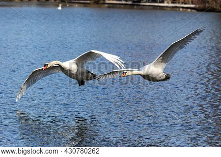 The Mute Swan, Cygnus Olor Is A Species Of Swan And A Member Of The Waterfowl Family Anatidae. Here