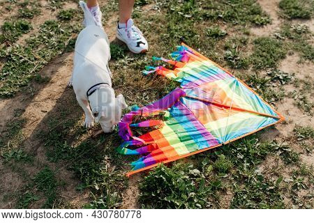 Jack Russell Terrier Sniffing Rainbow Kite Lying On Grass Outdoors, Top View. Active Weekend With Do