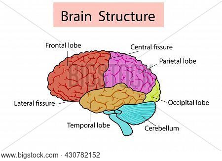 Vector Isolated Illustration Of Brain Structure In Man Head. Human Brain Detailed Anatomy.