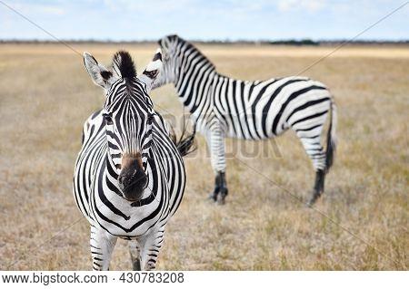 Zebras In Grasslands Of Virgin Steppes. Wild Nature