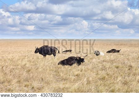 Largest Of The Wild Oxen Gayal In Grasslands Of Virgin Steppes