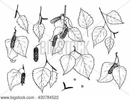 Vector Set Of Birch Twigs Of Leaves And Buds. A Collection Of Twigs With Leaves And Buds Of A Birch