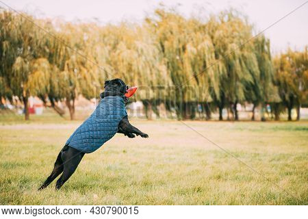 Active Black Cane Corso Dog Play Jumping With Plate Toy Outdoor In Park. Dog Wears In Warm Clothes.