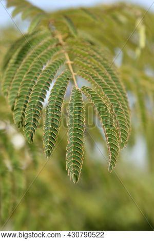 Silk Tree Leaves - Latin Name - Albizia Julibrissin