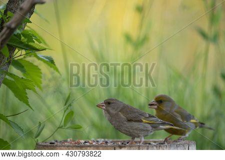 European Greenfinch Chloris Chloride Is A Small Songbird.
