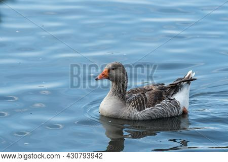 Domestic Goose On The River On A Hot Sunny Summer Day. Domestic Geese Swim In The River.