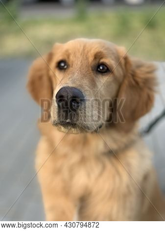 Red American Golden Retriever For Advertising. A Well-groomed And Beautiful Dog Looks Into The Frame
