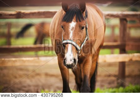 Portrait Of A Beautiful Bay Horse With A Dark Mane And A Dark Tail, Which Is Grazing In A Paddock On