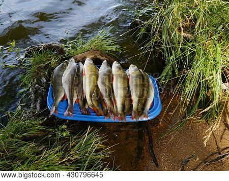 Pile Of Freshly Caught Perch Washed And Placed On A Tray By The Water