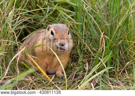 Funny European Ground Squirrel Hid Food In A Cheek Pouch And Sits In Green Grass. Portrait Of Wild G