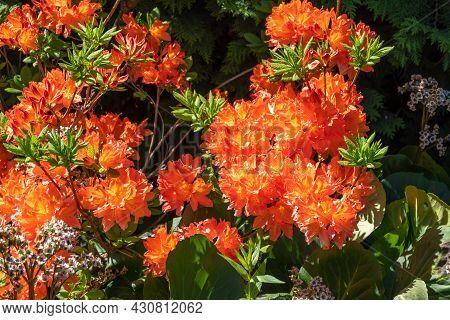Summer Flowering Bright Orange Flowers On A Deciduous Azalea Shrub, Rhododendron Gibraltar.