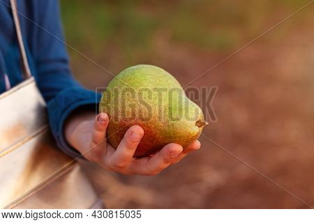 Big Pear In Child Hand On Sunset. Ripe Fruit Close Up In Sunlight. Fresh Colorful Pears Growing In T
