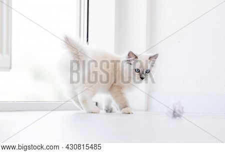 Adorable fluffy white ragdoll cat playing with paper balls on the floor in light room and looking at the camera with blue eyes. Lovely cute purebred feline pet outdoors with toys