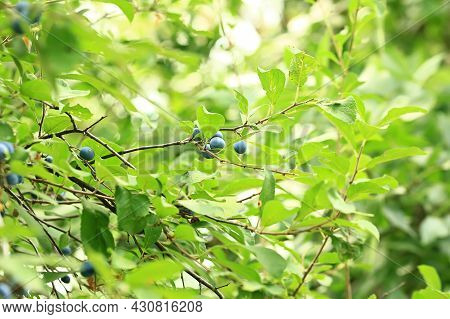 Prunus Spinosa On A Tree. Soft Selective Focus