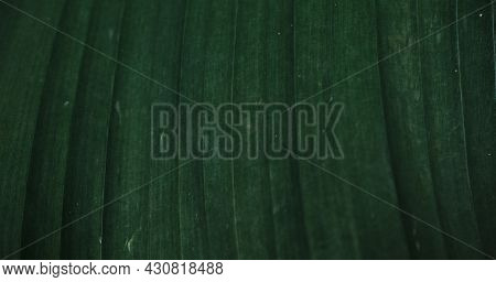 Banana Palm Tree. An Empty Space For Your Text Or Design. Banana Tree Leaf Close-up. Minimalistic Gr