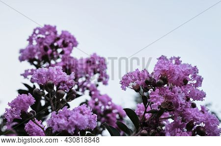 An Unusual Bush With Bright Light Purple Flowers Close-up Against A Clear Sky. Pink Flowers Grow On