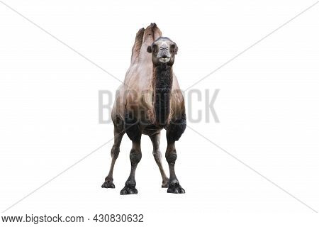 Bactrian Camel Isolated On White. The Bactrian Camel Camelus Bactrianus Is A Large, Even-toed Ungula