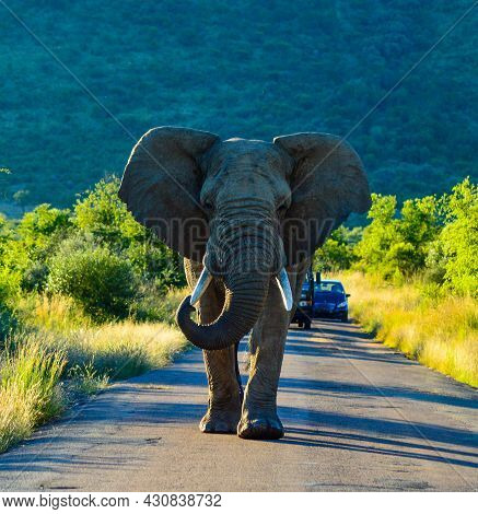A Lone Aggressive African Elephant ( Loxodonta Africana) Blocking Road In A Game Reserve During Safa