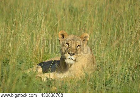 A Brown Lioness Waiting For It\'s Pride In Pilanesberg National Park South Africa