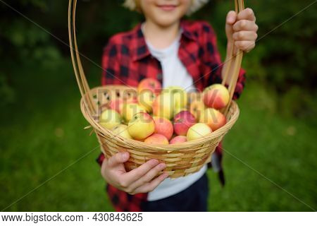 Little Boy Picking Apples In Orchard. Child Holding Straw Basket With Harvest. Harvesting In The Dom