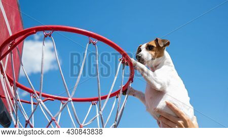 Bottom View Of Jack Russell Terrier Dog Scoring A Goal In A Basketball Basket Against A Blue Sky Bac