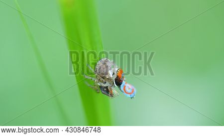 Close Up Shot Of Two Maratus Splendens Spiders Mating