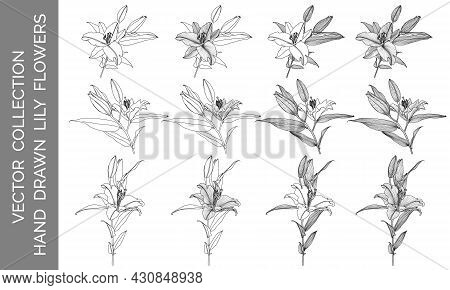 Vector Collection Of Hand Drawn Lily Flowers, Black Line Graphics On White Background. Design Elemen