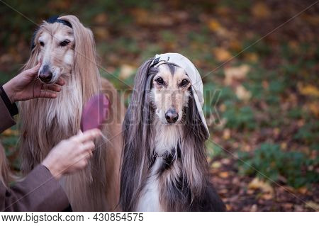 Dogs, Afghan Hounds As Teenagers, Rappers. Dressed In Stylish Caps, The Concept Of Youth Fashion, Cl