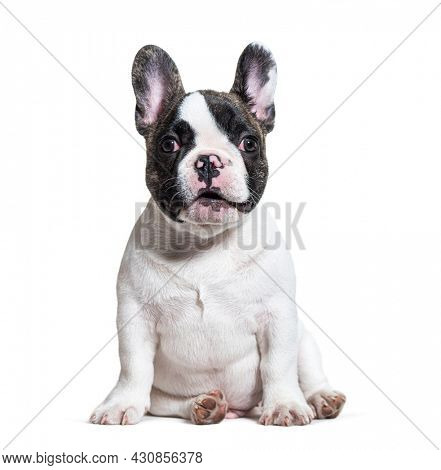Expressive three months old puppy french bulldog, sitting, isolated on white
