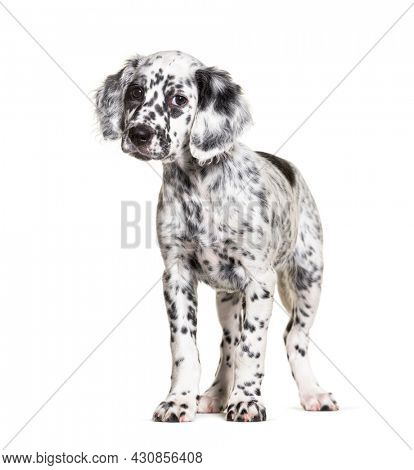 Standing Puppy english setter dog spotted black and white, two months old, Isolated