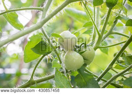 Small Green Tomatoes Ripen In The Farm. Tomato Trees Are Fruiting In The Garden. Young Tomatoes Are