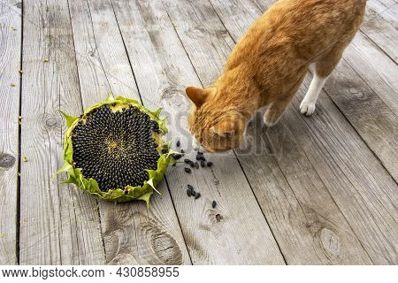Sunflower And Ginger Cat. Ripe Sunflower Head Close-up. The Cat Is Sniffing A Yellow Flower On A Woo