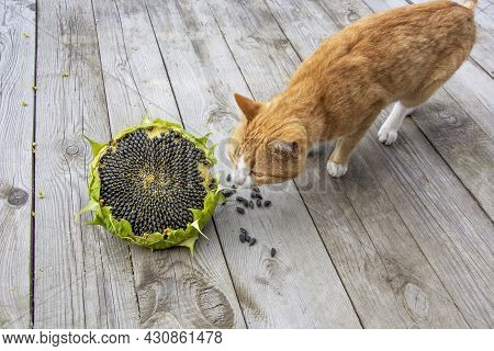 The Cat Is Sniffing A Yellow Flower On A Wooden Background. Sunflower And Ginger Tabby Cat. Ripe Sun