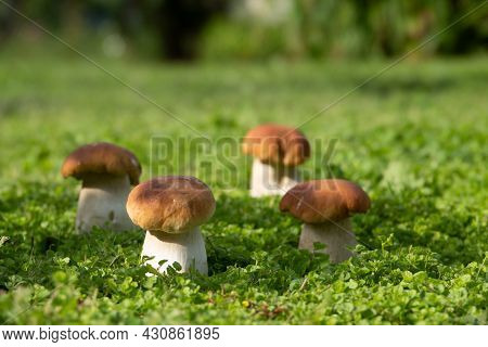 Cep Mushroom Grow In Forest Glade. Beautiful Autumn Season Porcini In Moss Near Tree. Edible Mushroo