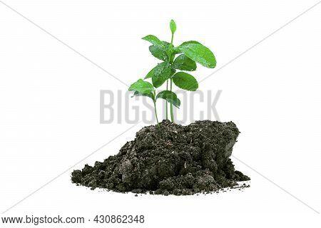 Close-up Of A Sapling Of A Tree Emerging From A Mound Isolated On A White Background.