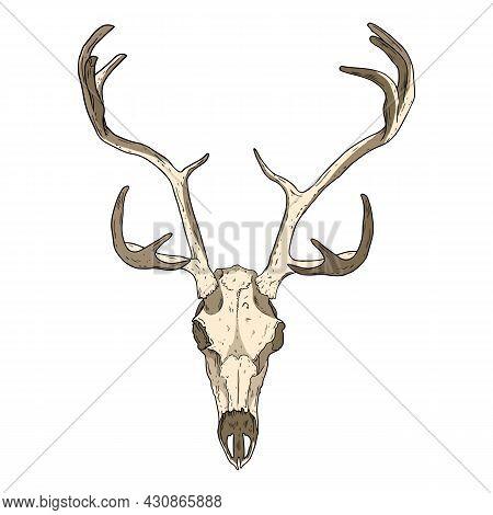 Deer Fossilized Skull Hand Drawn Image. Horned Artiodactyl Animal Bones Fossil Illustration Drawing.